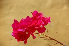 Bougainvillea Stock Image