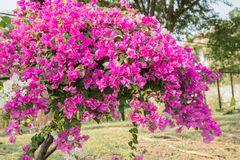 Bougainvillea beautiful Stock Photo