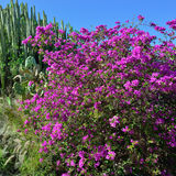 Bougainvillea Stock Images
