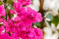 Bougainvillea bloom bougainvillea, flower, pink. Royalty Free Stock Photography