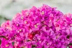 Bougainvillea bloom bougainvillea, flower, pink. Royalty Free Stock Photos