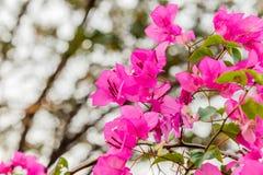 Bougainvillea bloom bougainvillea, flower, pink. Stock Photography
