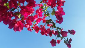 Bougainvillea. Blooming bougainvillea in the beautiful Florida sky Royalty Free Stock Image