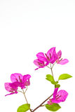 Bougainvillea blossome Royalty Free Stock Photos