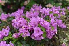 Bougainvillea blossoms Stock Images