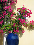 Bougainvillea in blue ceramics pot Royalty Free Stock Image