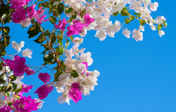 Bougainvillea on blue sky background Royalty Free Stock Photo