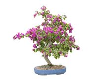 Bougainvillea Bonsai Royalty Free Stock Images