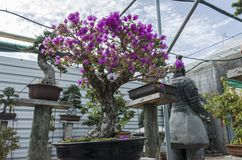 Bougainvillea bonsai in bloom in a garden. Fuchsia flower. stock image