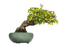 Bougainvillea bonsai tree, isolated Royalty Free Stock Photography