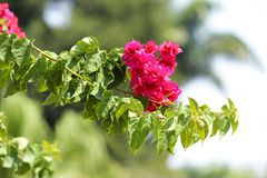 Red bougainvillea flowers stock illustration