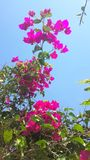 Bougainvillea. Is a curly shrub that is usually used to decorate flowerbeds near hotels, shops, park areas. His flowers are small, barely noticeable, but framed Royalty Free Stock Photography