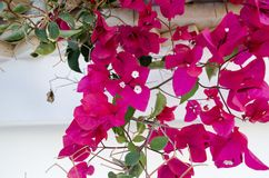 Bougainvillea. Is a curly shrub that is usually used to decorate flowerbeds near hotels, shops, park areas. His flowers are small, barely noticeable, but framed Stock Images