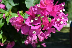 Bougainvillea Bougainvillea is an evergreen twining shrub. Fragrant pink bougainvillea (Bougainvillea spectabilis) flower with blurred background Royalty Free Stock Photo