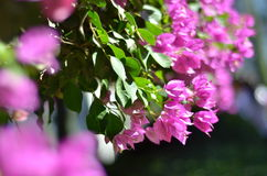 Bougainvillea Bougainvillea is an evergreen twining shrub. Fragrant pink bougainvillea (Bougainvillea spectabilis) flower with blurred background Stock Image