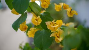 Bougainvillea. Is a genus of thorny ornamental vines, bushes, and trees with flower-like spring leaves near its flowers. Different authors accept between four Stock Images