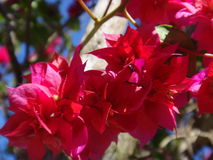 Bougainvillea. Is a genus of thorny ornamental vines, bushes, and trees with flower-like spring leaves near its flowers. They are native plants of, South Stock Photo