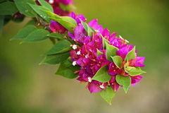 Bougainvillea Royalty Free Stock Image