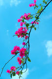 Bougainvillea. A branch of fuchsia coloured Bougainvillea in front of a blue sky Royalty Free Stock Image