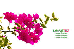 Bougainvillea Branch isolated Royalty Free Stock Photo