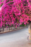 Bougainvillea branch on pathway pink flower Stock Images