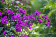 A bougainvillea branch with some flowers stock photo