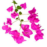 A Bougainvillea Branch Stock Images