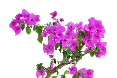 Bougainvillea: Beautiful flowers Royalty Free Stock Images
