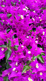 Bougainvillea bright natural background Stock Images
