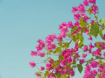 Bougainvillea bush against blue background Stock Photo