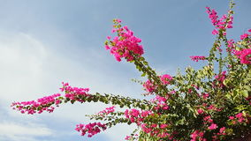 Bougainvillea bush against the sky in the garden. The second version. Bougainvillea bush against the sky in the garden. The second version stock video footage