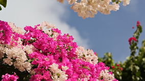 Bougainvillea bush against the sky in the garden. The third version. Bugaynvillea bush against the sky in the garden. The third version. Shot in Full HD stock footage