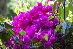 Bougainvillea bush branch blur background Royalty Free Stock Images