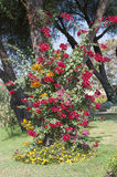Bougainvillea bush growing up tree Royalty Free Stock Photos