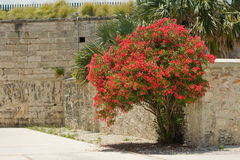 A Bougainvillea bush. A lush Bougainvillea bush, in a sunny, hot, courtyard Royalty Free Stock Images