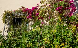 Bougainvillea  bush and old wall with window stock images