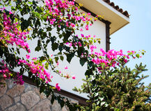 Bougainvillea bush with pink flowers Royalty Free Stock Photo