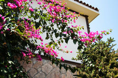 Bougainvillea bush with pink flowers Stock Photography