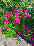 Bougainvillea bush with pink flowers on a texture walls. Royalty Free Stock Photography