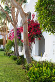 Bougainvillea bush and trees in arabic garden Royalty Free Stock Photos