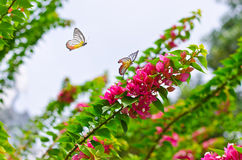 Bougainvillea with Butterfly Stock Images