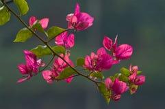 Bougainvillea, cierniowata ornamentacyjna roślina Zdjęcia Royalty Free