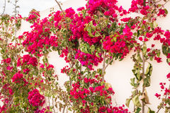 Bougainvillea climbing a white wall. Royalty Free Stock Images