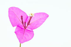 Bougainvillea close up Royalty Free Stock Photo