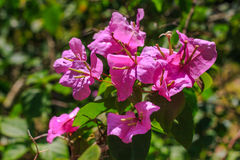 Bougainvillea close up shot. Stock Photos