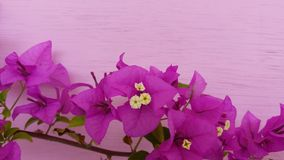 Bougainvillea color beautiful sightly flower Royalty Free Stock Photos
