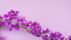 Bougainvillea color beautiful sightly flower Stock Image