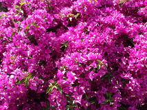 Bougainvillea Stock Photos