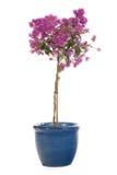 Bougainvillea cor-de-rosa Fotos de Stock