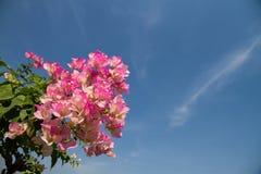 Bougainvillea cor-de-rosa Fotografia de Stock